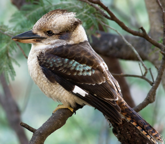 The Australian Kookaburra